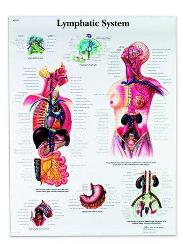 Lymphatic System Anatomical Chart - Shop | LivCor Australia
