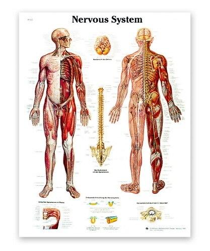 Nervous System Anatomical Chart - Shop | LivCor Australia
