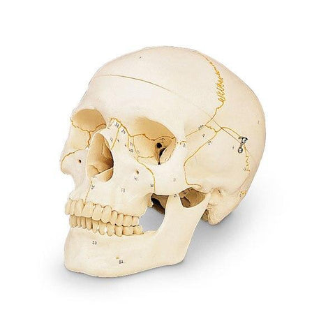 Numbered Classic Skull (3-Part) - Shop | LivCor Australia