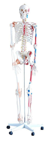 Skeleton w/Muscles & Ligaments - Shop | LivCor Australia
