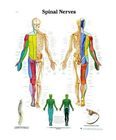 Spinal Nerves Anatomical Chart - Shop | LivCor Australia