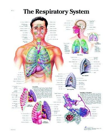 The Respiratory System Anatomical Chart - Shop | LivCor Australia