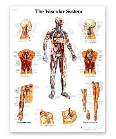 The Vascular System Anatomical Chart - Shop | LivCor Australia