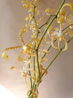 Load image into Gallery viewer, Pannee Mokara Orchid (5 stems)