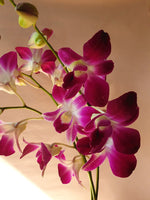 Load image into Gallery viewer, Dendrobium Orchid in Mumbai