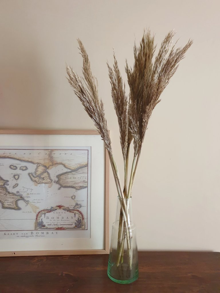 Dried Giant Reed Grass