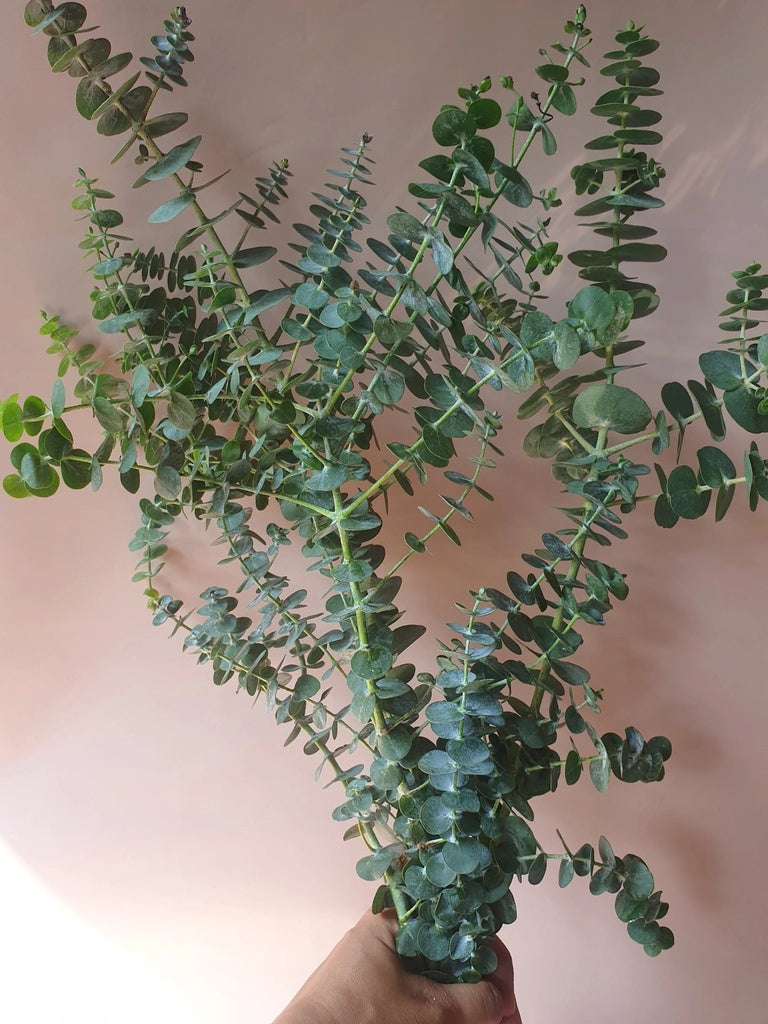 Fresh Eucalyptus for Delivery
