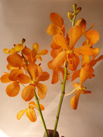 Load image into Gallery viewer, Mokara Orchid Flowers Mumbai