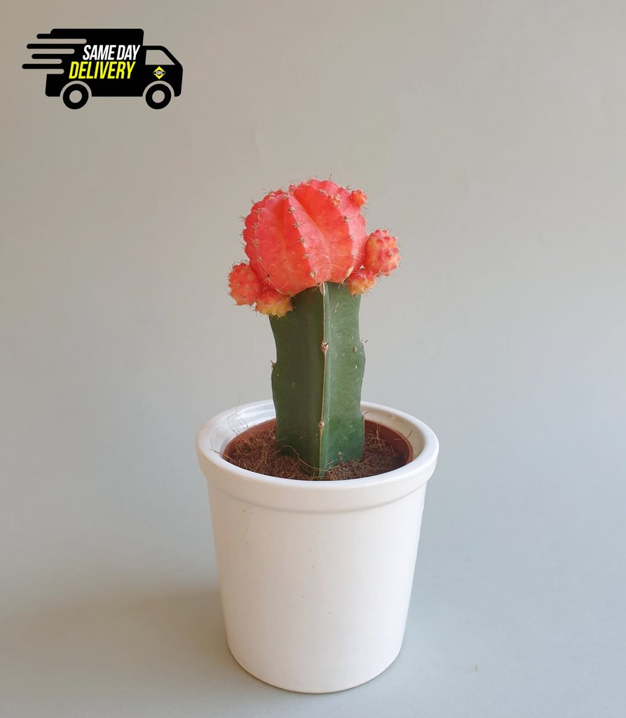 Big Moon Cactus in a pot