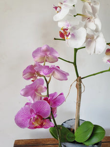 Phalaenopsis Orchid Pink and White
