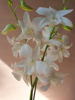 Load image into Gallery viewer, White Dendrobium Orchid