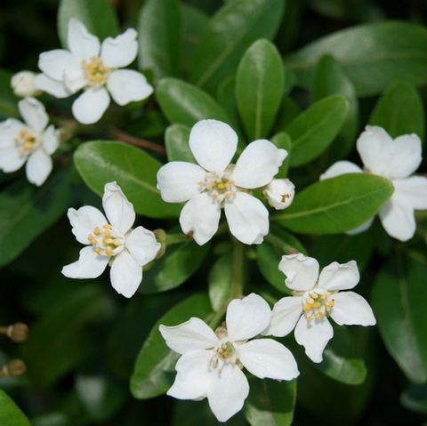 Choisya ternata  'Mexican Orange Blossom'