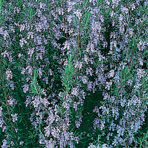 Prostrate Rosemary - Rosemary officinalis prostrate