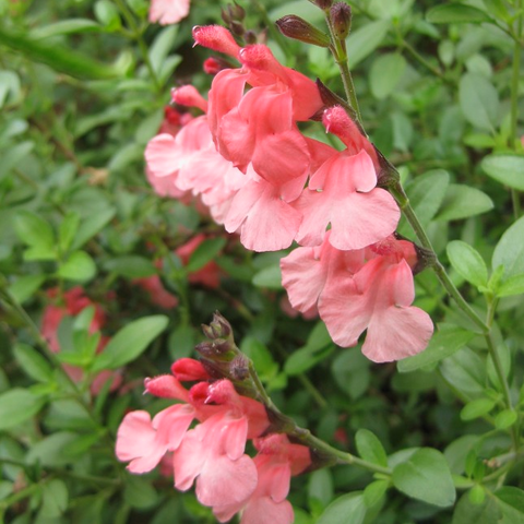 Salvia greggii 'Desert Sunset'