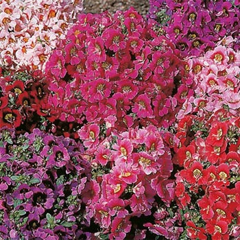 Schizanthus Angels Wings