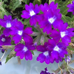 Verbena - purple & white