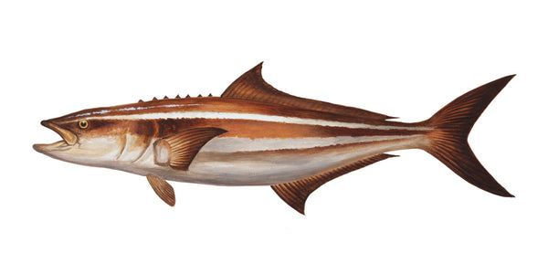 Cobia Fish Portrait