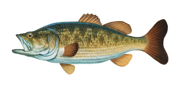 Largemouth Bass Portrait