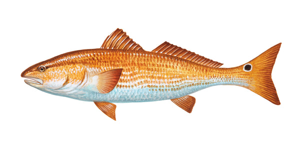 Red Drum Portrait