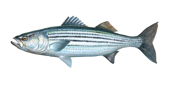 Striped Bass Portrait