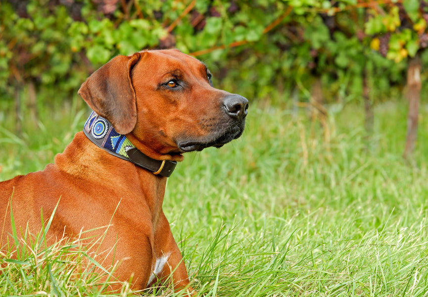 The Top Signs Your Dog Needs a New Collar