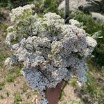 Yarrow Plus