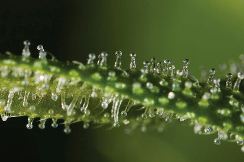 Terpenes That Augment the Healing Power of Cannabis