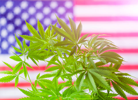 6 Cannabis Strains for Watching the Democratic Debates