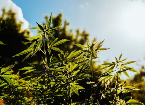 Does Hemp's Legalization Pave the Way for Cannabis?