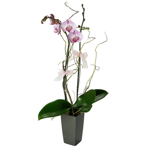 Phalaenopsis (Butterfly Orchids) Arrangement