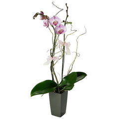 Send orchids plants / butterfly orchids to Hong Kong