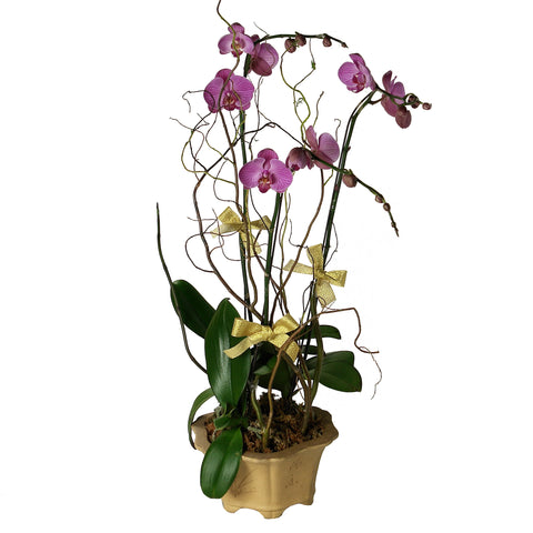 Deluxe Phalaenopsis (Butterfly Orchids) Arrangement