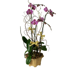 Send this Phalaenopsis (Butterfly Orchids) arrangement to someone special in Hong Kong