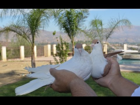 Afghan Pigeon 9 Breeding pair