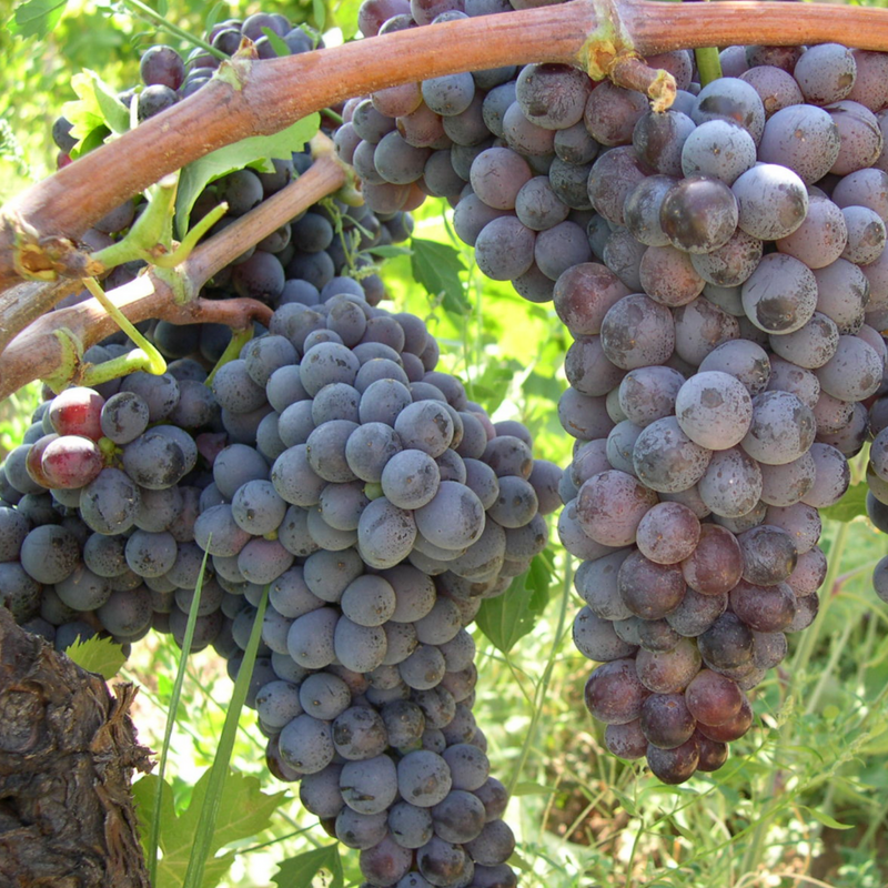 Gaglioppo - grape of Calabria