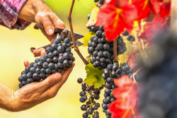 The Healthy Option: benefits of drinking organic wine