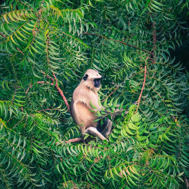 A lone monkey sitting amidst green branches