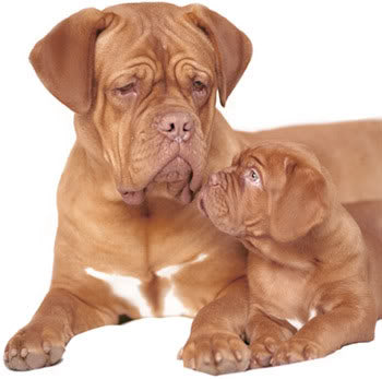 Dogue de bordeaux hunderace