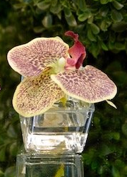 Mini Orchid Bloom - The Kemble Shop