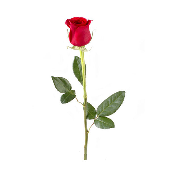 Single Rose Stem (Bunch of 10 Roses)