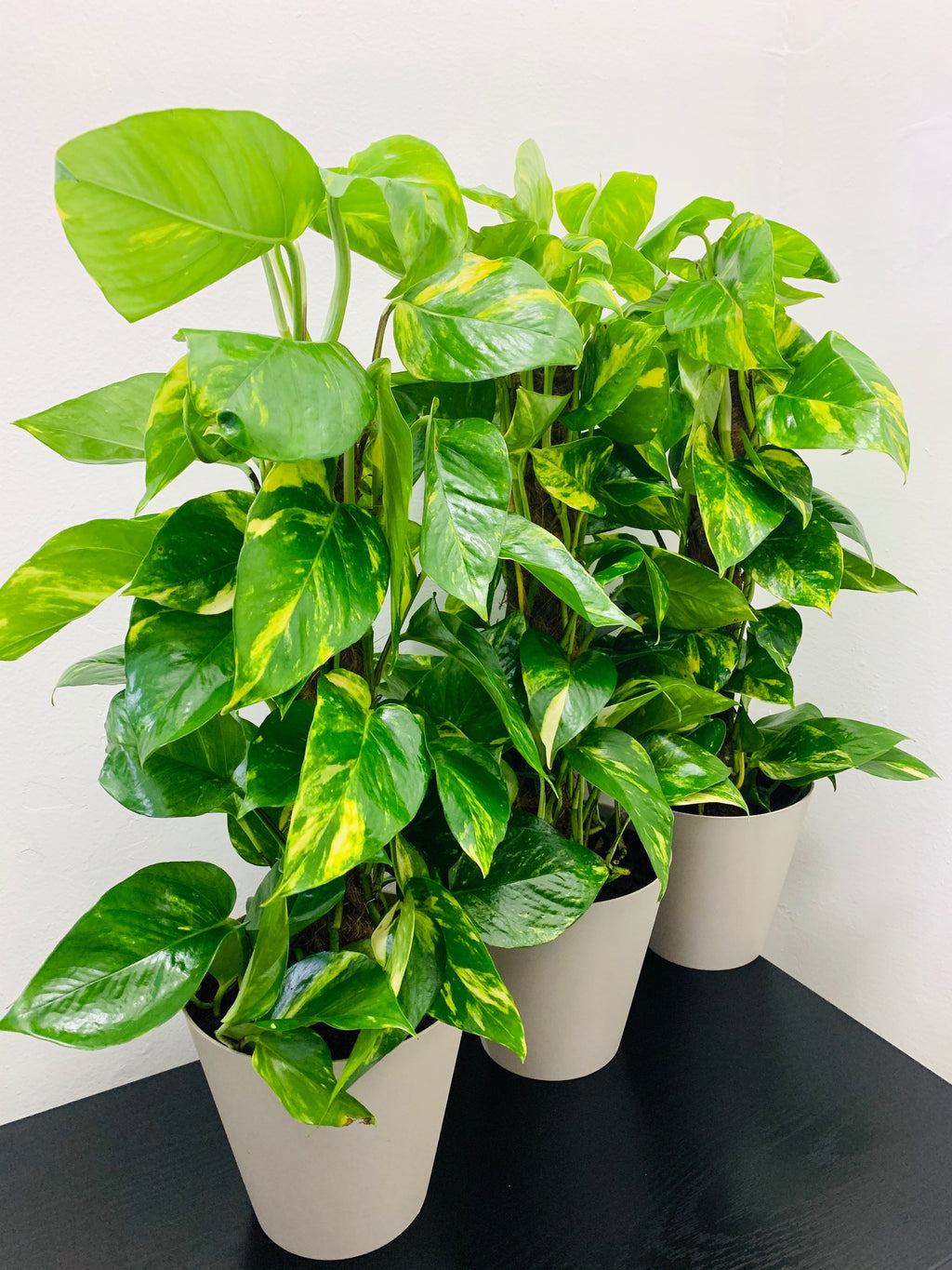 Money Plant - FG-20-0012