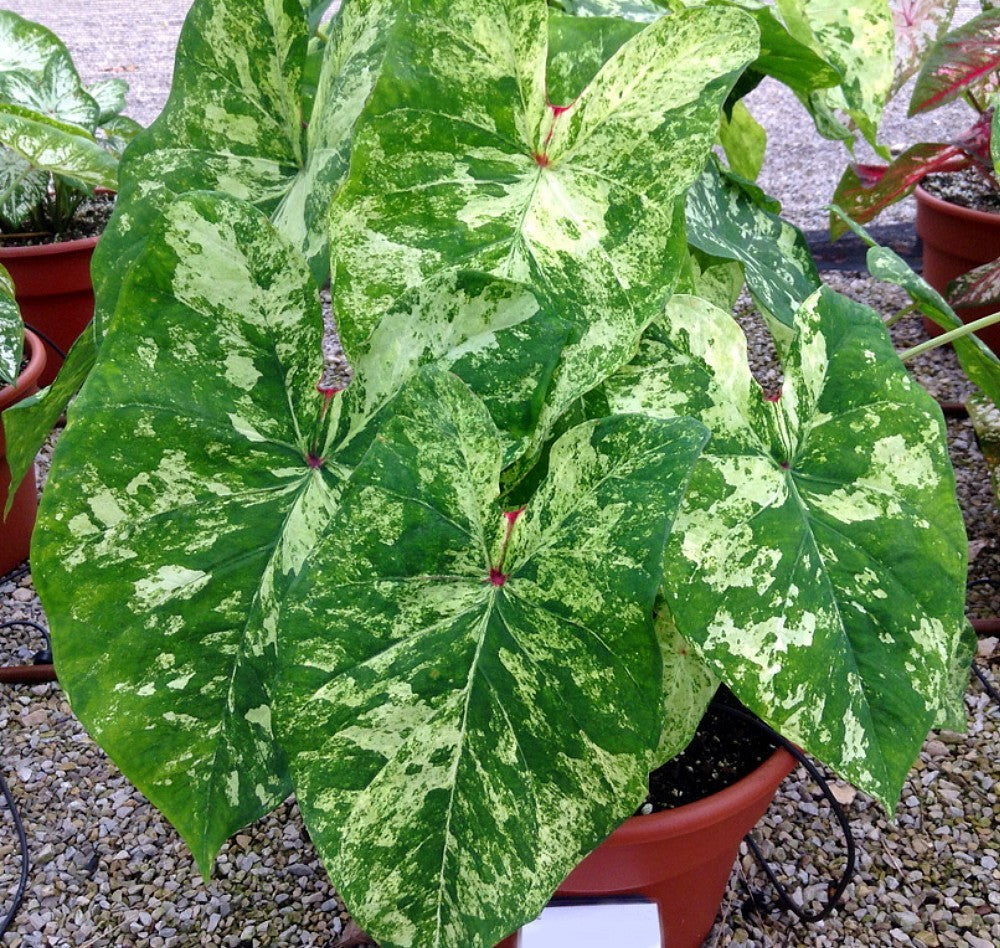 Caladium 'Frog in a Blender' - calibre jumbo