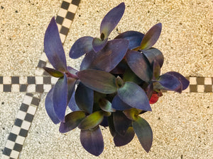 Tradescantia pallida 'Purple Rose'