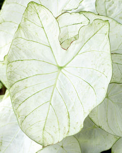 Caladium 'Florida Moonlight' - calibre jumbo