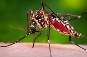 Aedes aegypti mosquito, which transmits dengue fever