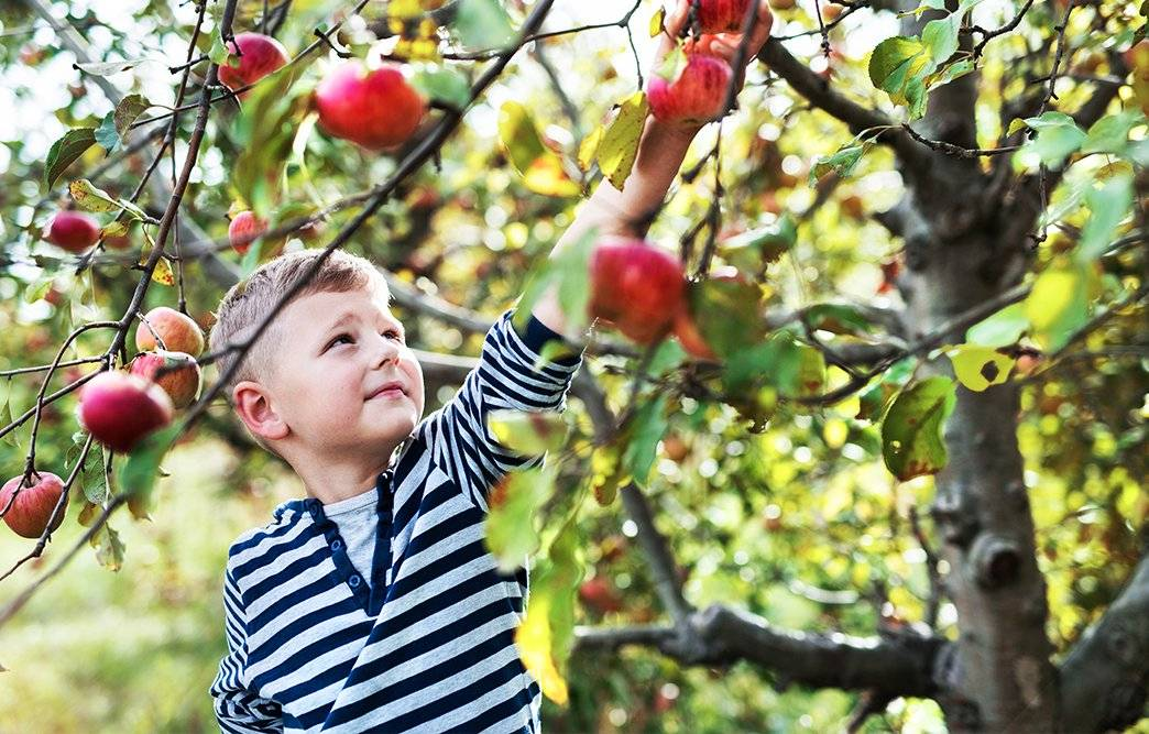 Who doesn't love picking apples right from the tree?