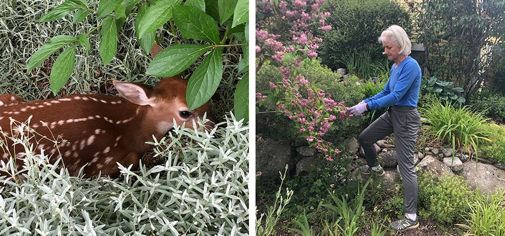 Judith inspecting her Deutzia next to the waterfall and pond in her garden