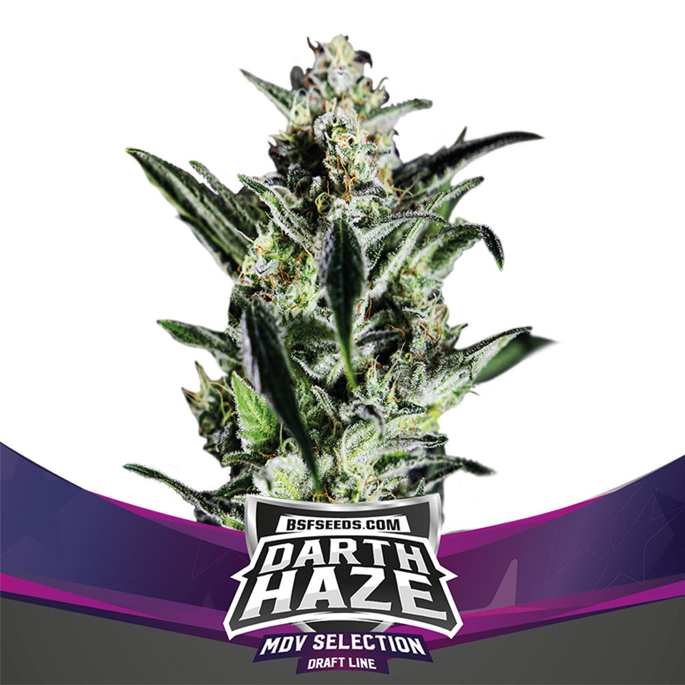 Darth Haze X12 - BSF Seeds | Z1