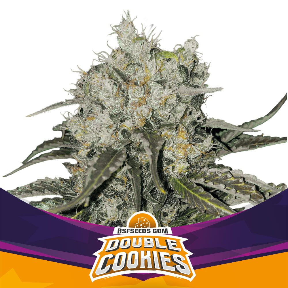 Double Cookies X2 - BSF SEEDS | Z1