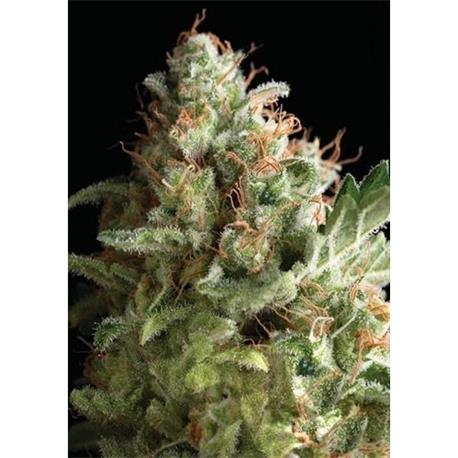 American Pie x3+1 - Pyramid Seeds | Z1